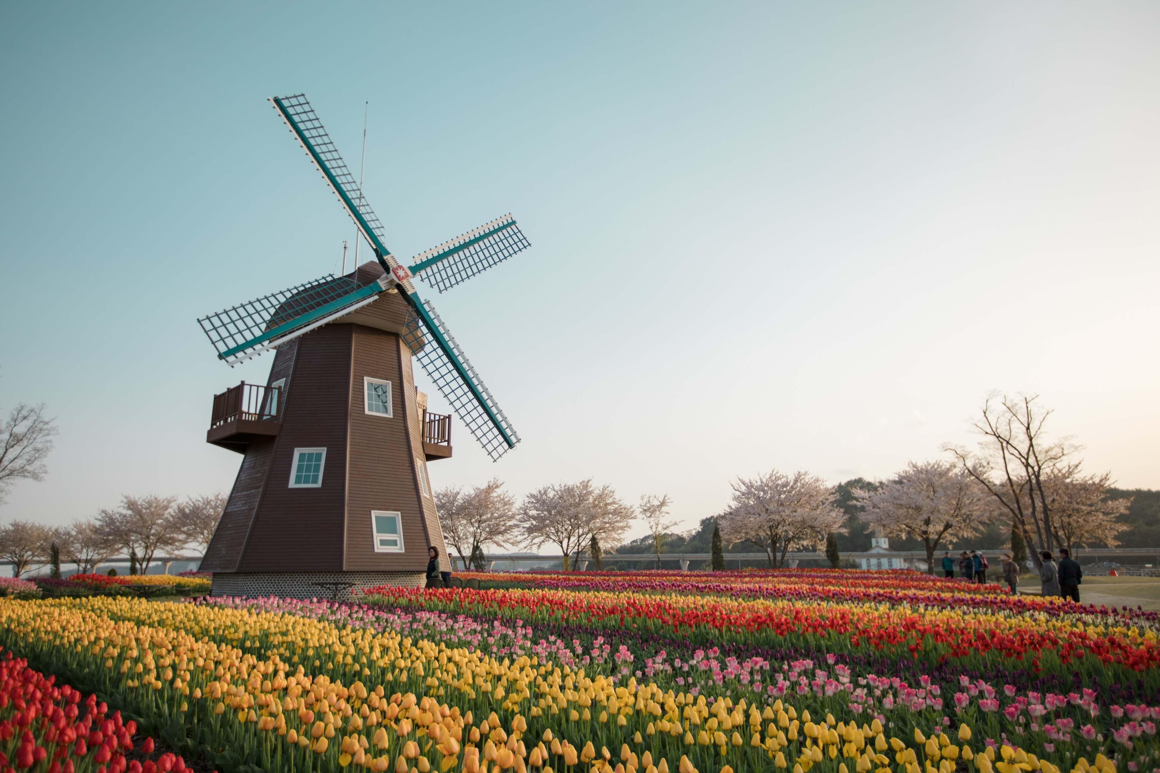 オランダの風車とチューリップ畑