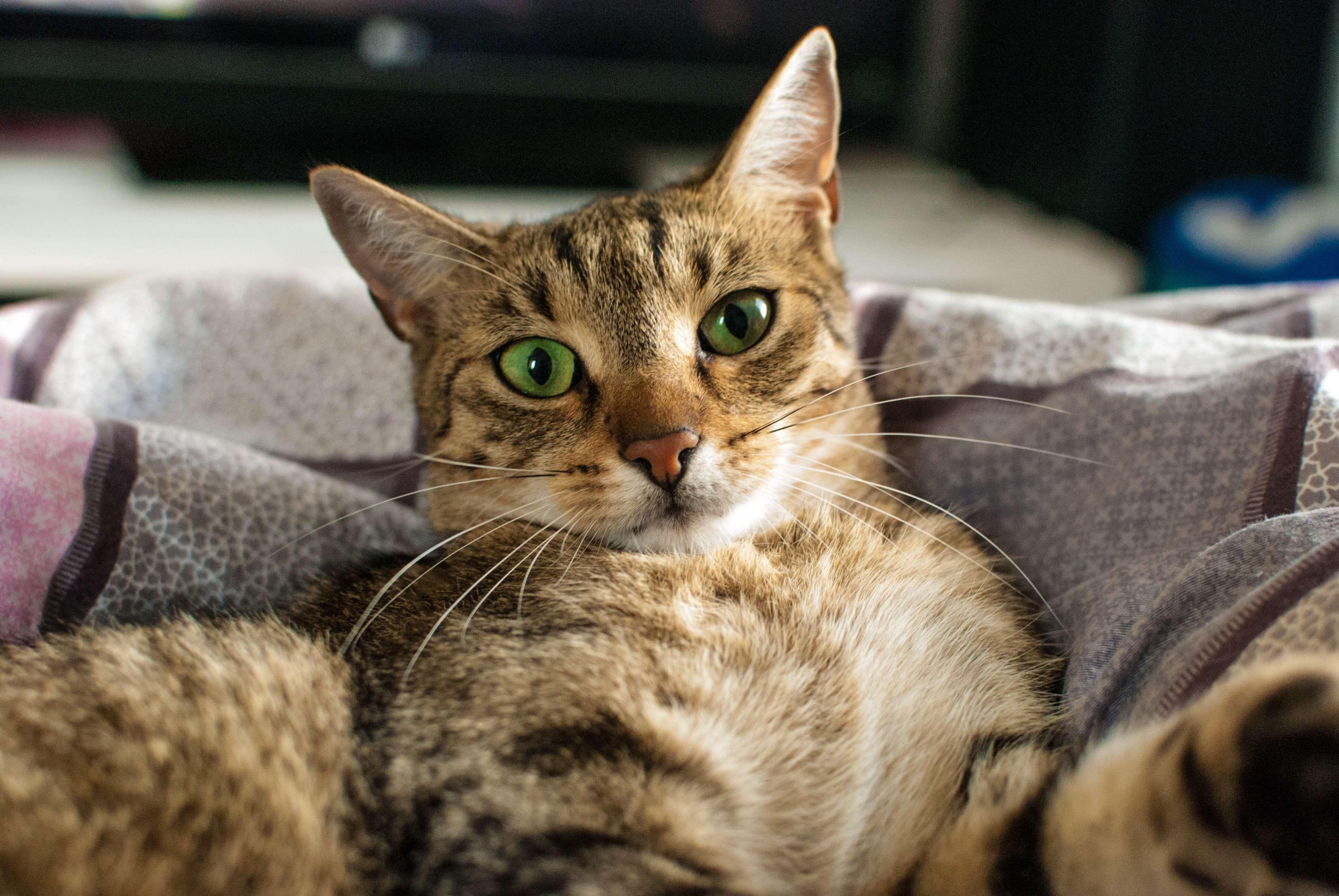 ソファで驚く猫